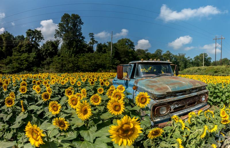 Rusty Truck in Sunflower Field 9/16/17
