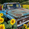 Rusty Truck in Sunflower Field 9/16/17