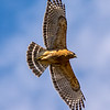 Red-Shouldered Hawk in Flight 3/17/16