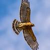 Red-Shouldered Hawk in Flight 3/17/16