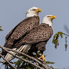 Bald Eagle Pair 4/23/17