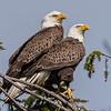 Bald Eagle Pair 4/23/17