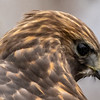 Close-Up of Red-Shouldered Hawk 3/1/19