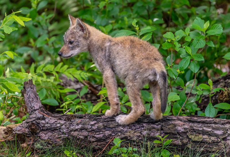 A Coyote Pup 6/6/20