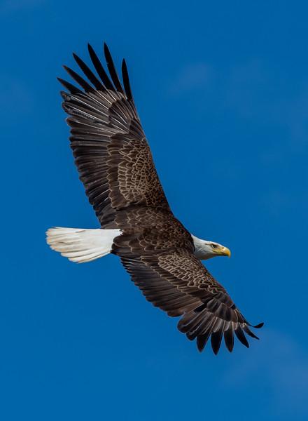A Bald Eagle in Flight 4/17/19