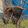 Red-Shouldered Hawk in Flight 1/23/19