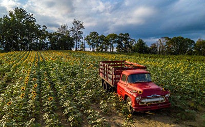 Old Truck in Sunflower Field 9/2/18