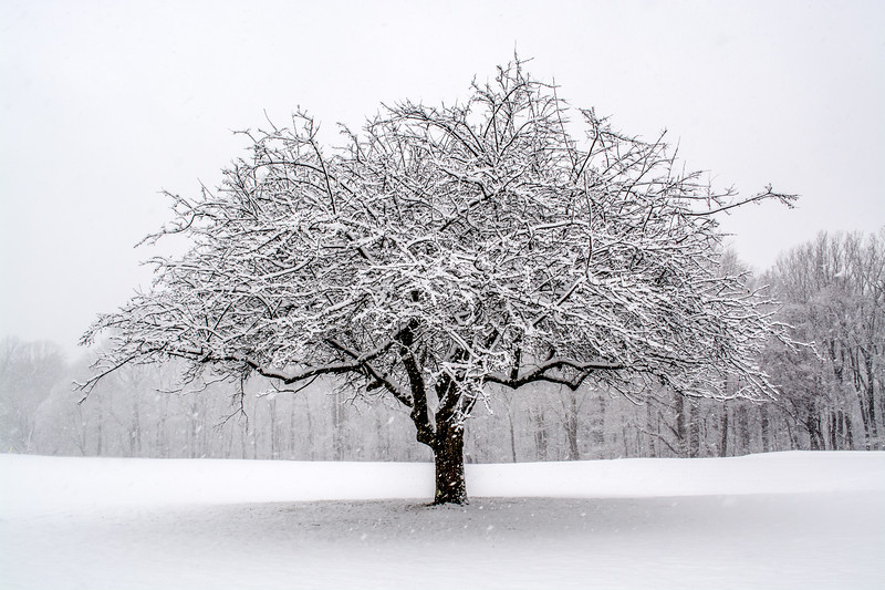 A Snow-Covered Tree in a Field 3/4/16