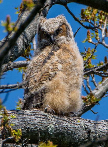Great Horned Owlet 4/15/16