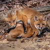 Red Fox Kits 5/5/20