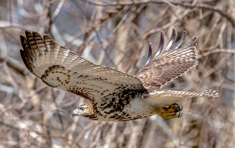 Red-Tailed Hawk in Flight 3/16/17