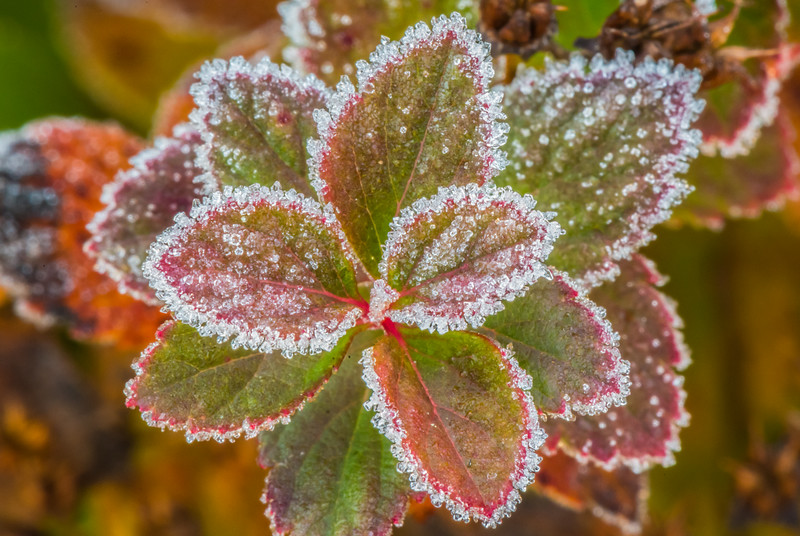 Frost-Covered Autumn Leaves 11/8/16