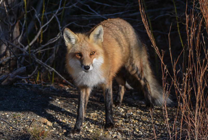 Red Fox at Island Beach State Park