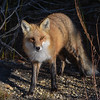 Red Fox at Island Beach State Park