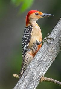 Red-Bellied Woodpecker 7/18/18