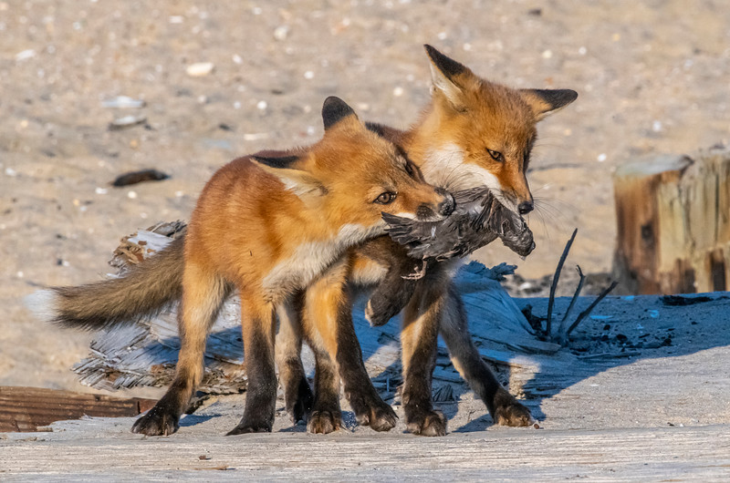 Two Red Fox Kits Fighting Over Dinner 5/18/21