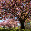 Cherry Blossoms in Spring Lake 5/8/18