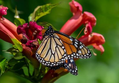 Monarch Butterfly 7/20/18