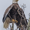 Bald Eagle Drying Its Wings 4/27/17