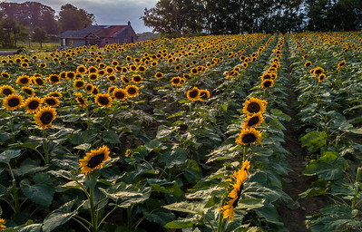 Farmhouse in a Sunflower Field 9/2/18