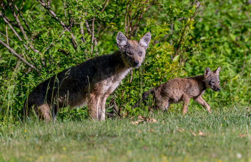 Mama Coyote With Her Pup 6/7/20
