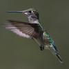 Ruby-Throated Hummingbird 5/3/18