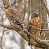 Red-Shouldered Hawk Pair 12/6/16