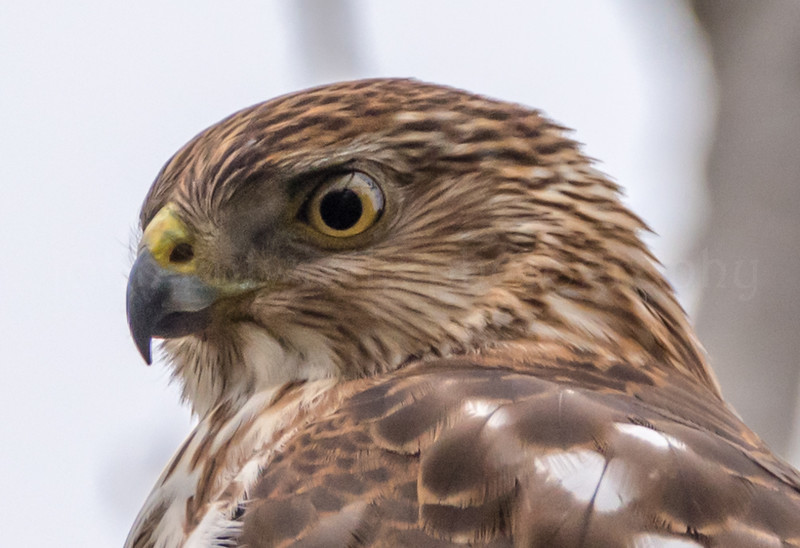 Cooper's Hawk 12/6/16