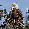 Bald Eagle Pair Perched in Tree 2/3/19