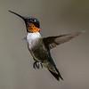Ruby-Throated Hummingbird 5/2/18