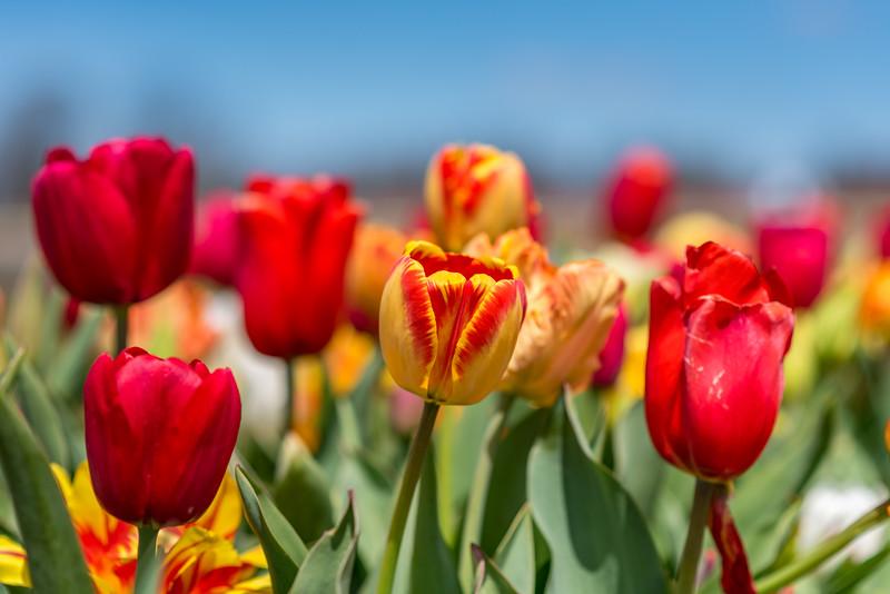 Tulips 4/26/18