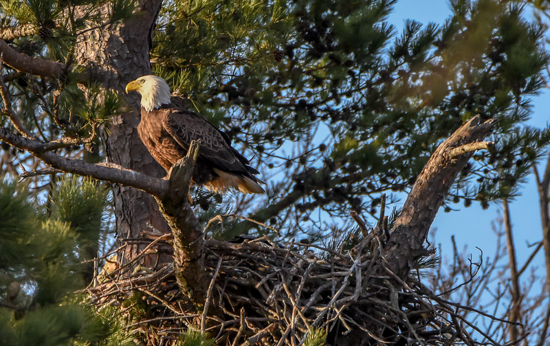 Bald Eagle at Nest at Sunset 4/8/18
