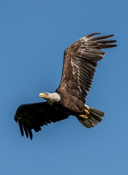 Bald Eagle in Flight 5/21/17