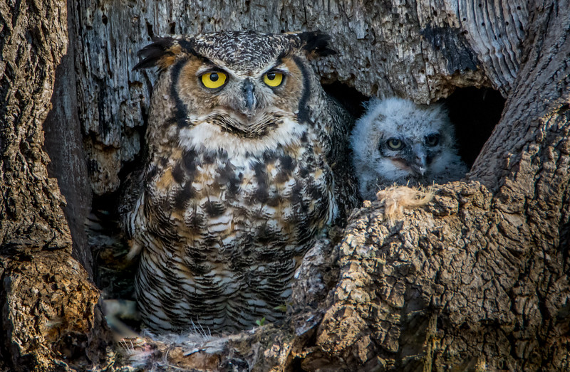 Great Horned Owl in Nest with Owlet 3/24/16