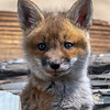 A Red Fox Kit 4/21/21