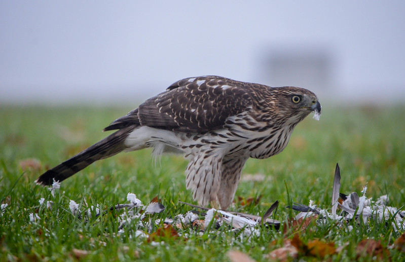Cooper's Hawk Finishing Pigeon Breakfast, Ocean Grove, NJ