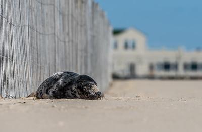 Harbor Seal on Belmar Beach 3/11/18