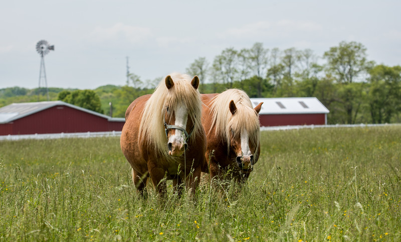 A Pair of Horses in a Field 5/23/16