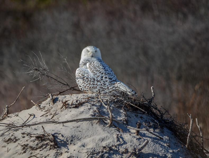 Snowy Owl at Island Beach State Park