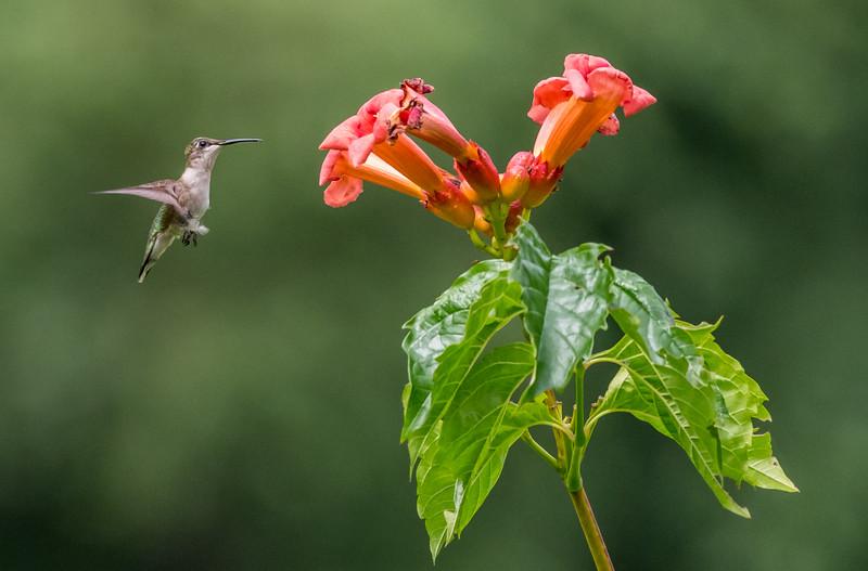 Ruby-Throated Hummingbird 7/23/17