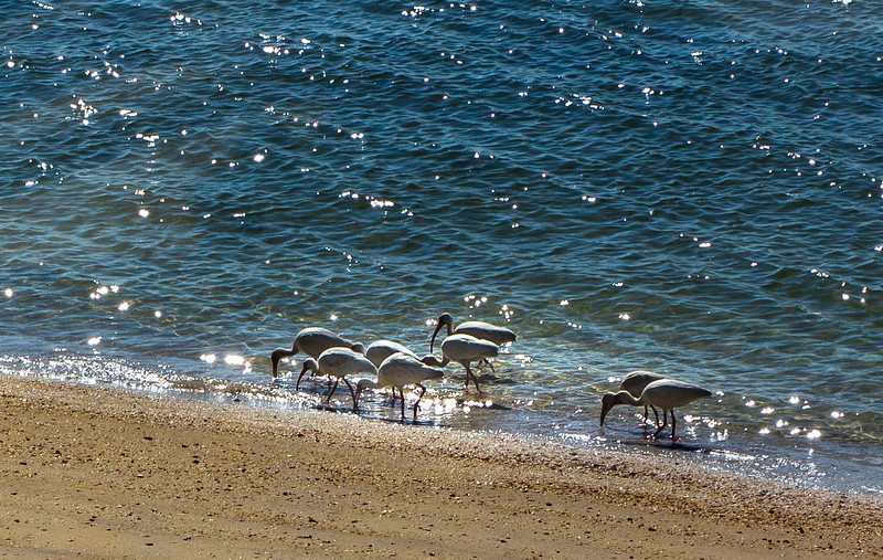 A Flock of Ibises 2