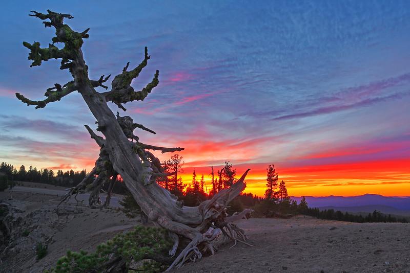 ~ Primordial Pine Tree ~