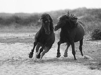 Wild Horses_Black Stallions, Sable Island
