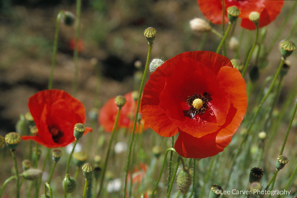 Red Poppies Abound