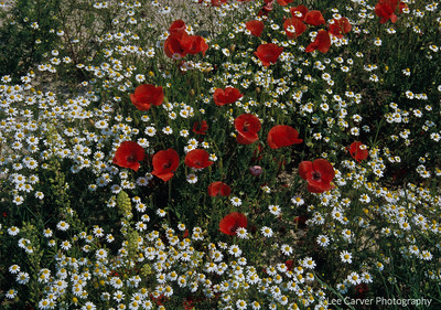 Poppies and Daisies growing wild