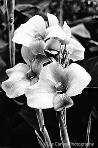 Black and White Iris