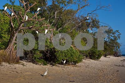 Herons at roost on Heron Island.
