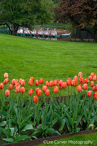 Tulips and swan boats