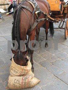 Horse with head in Feedbag