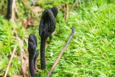 TotF Mushrooms